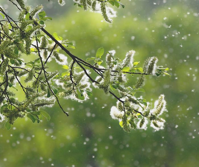 pollen-arbre-rhume